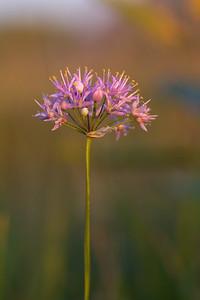 Allium stellatum Wild Onion Felton Prairie Clay County MN IMG_0931