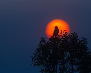 Eastern Kingbird silhouette hazy sunset Felton Prairie Clay County MN IMG_1006