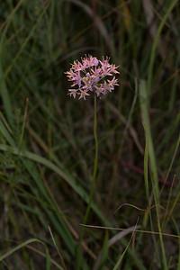 Allium stellatum Wild Onion Felton Prairie Clay County MN IMG_0914