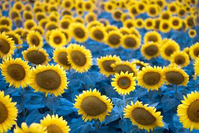 sunflowers near Moorhead MN IMG_1052