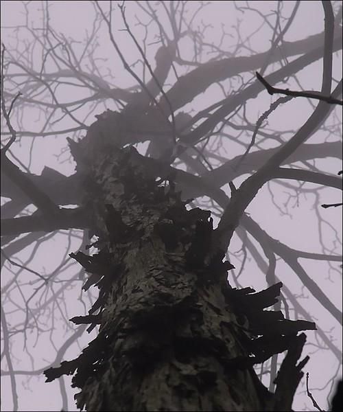 Hickory Monster