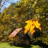 Maple Leaf - Mid-Fall