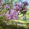 Native Pink Azalea-Blue Ridge Parkway