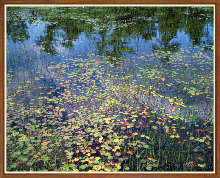 Water Lilies with Pine Tree Reflections