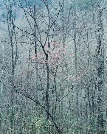 Eliot Porter, Redbud Trees in Bottomland