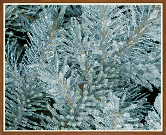 Spruce Tree After Ice Storm
