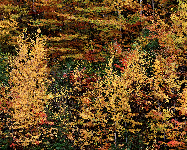 Birch, Maple, And Beech Trees