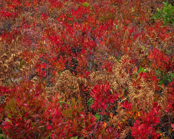 Highbush Blueberry and Ferns