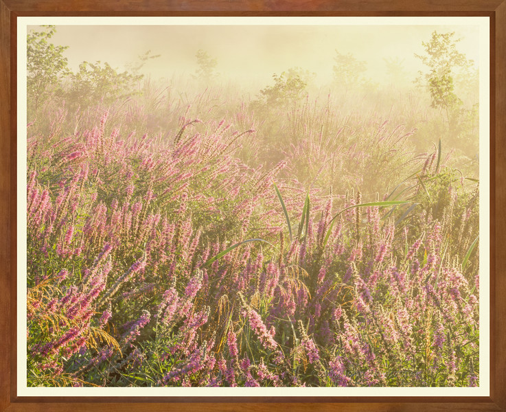 Loosestrife and Fog