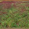 Crimson Clover II