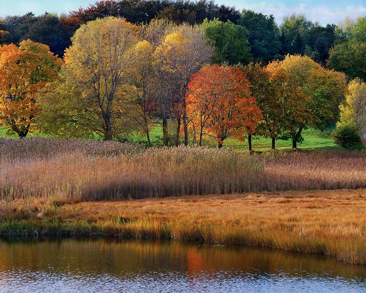 Salt Marsh And Maple Trees
