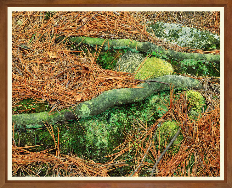 Roots And Pine Needles