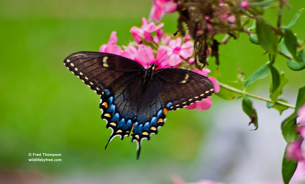 INSECTS-BUTTERFLIES--GUEST BOOK