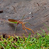 MANTIS (ALSO CALLED PRAYING MANTIS)
