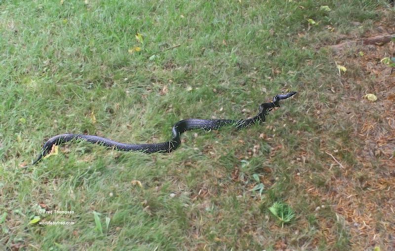Black Snake in my yard