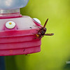 BEE & SPIDER ON HUMMINGBIRD FEEDER