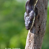 BLACK SNAKE CLOSEUP