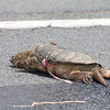 SNAPPING TURTLE HIT ON ROUTE 147