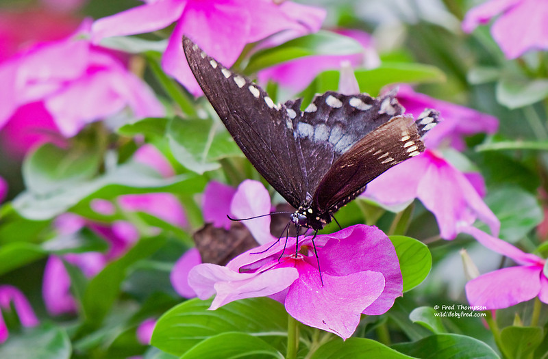 BUTTERFLY--IF YOU LOOK CLOSE YOU CAN SEE THE PROBOSCIS (THE DRINKING TUBE) GOING INTO THE FLOWER