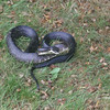 Black Snake in my yard