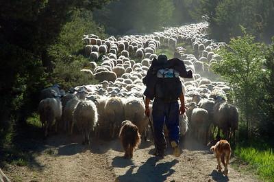 SPANISH SHEPHERDS Aurelio Noguero drives his flock towards rich grazing in the Aragonese Pyrenees