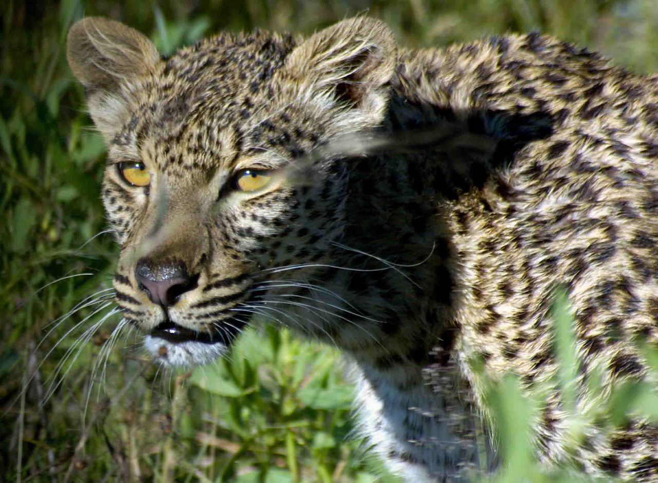 Amber the leopard near Selinda Spillway