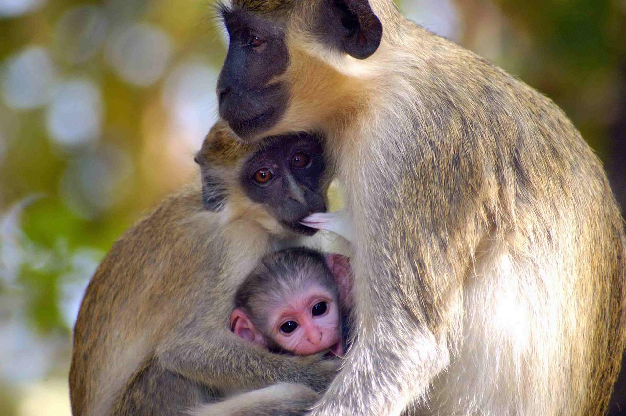 Callithrix monkey (aka Vervet) Chimpanzee Rehabilitation Trust, Baboon Island, The Gambia