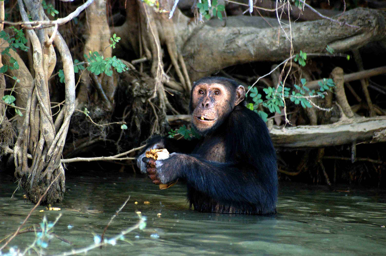 Chimpanzee Rehabilitation Trust, Baboon Island, The Gambia