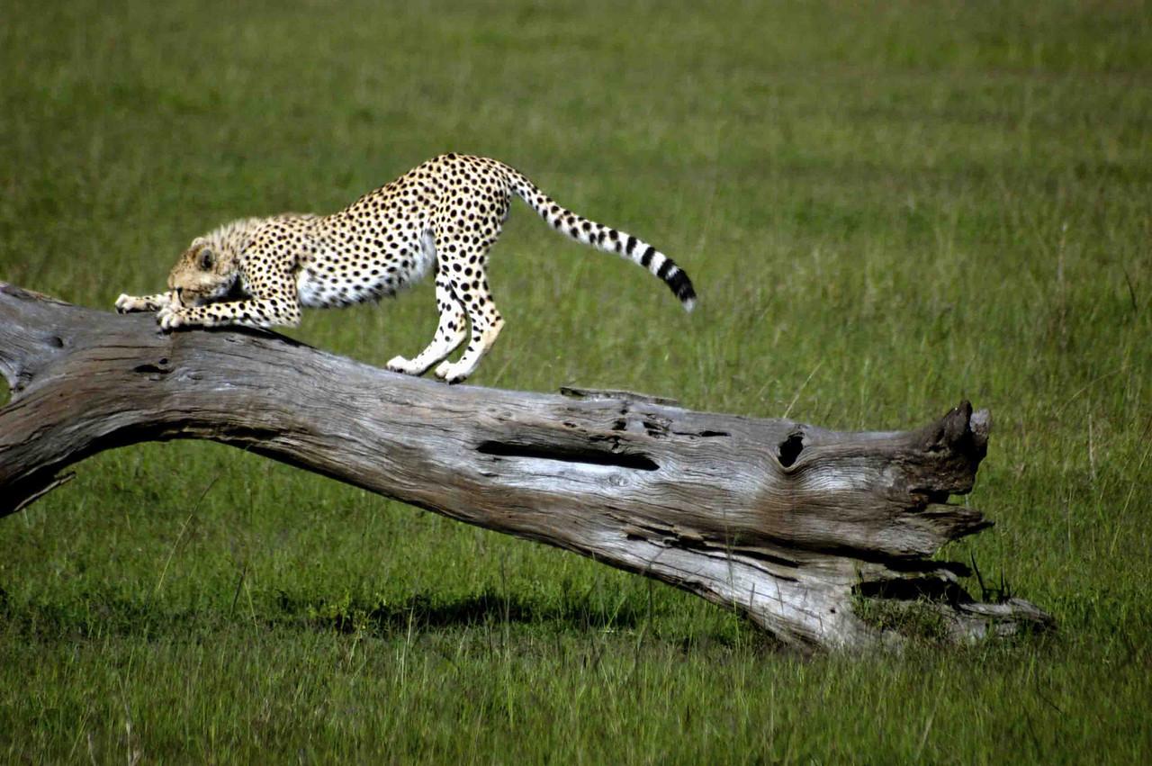 A Maasai Mara cheetah uses his lookout tree to clean his claws