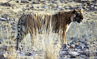 One of Ranthambhore's dominant males - Nick Ear - bearing the shoulder wound that he received in a fight with Lady of the Lake