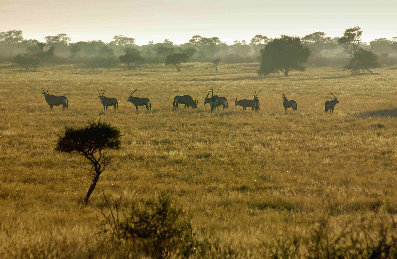 A herd of regal gemsbok on a Kalahari pan at dawn
