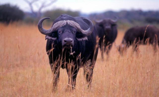 AFRICA -Buffalo