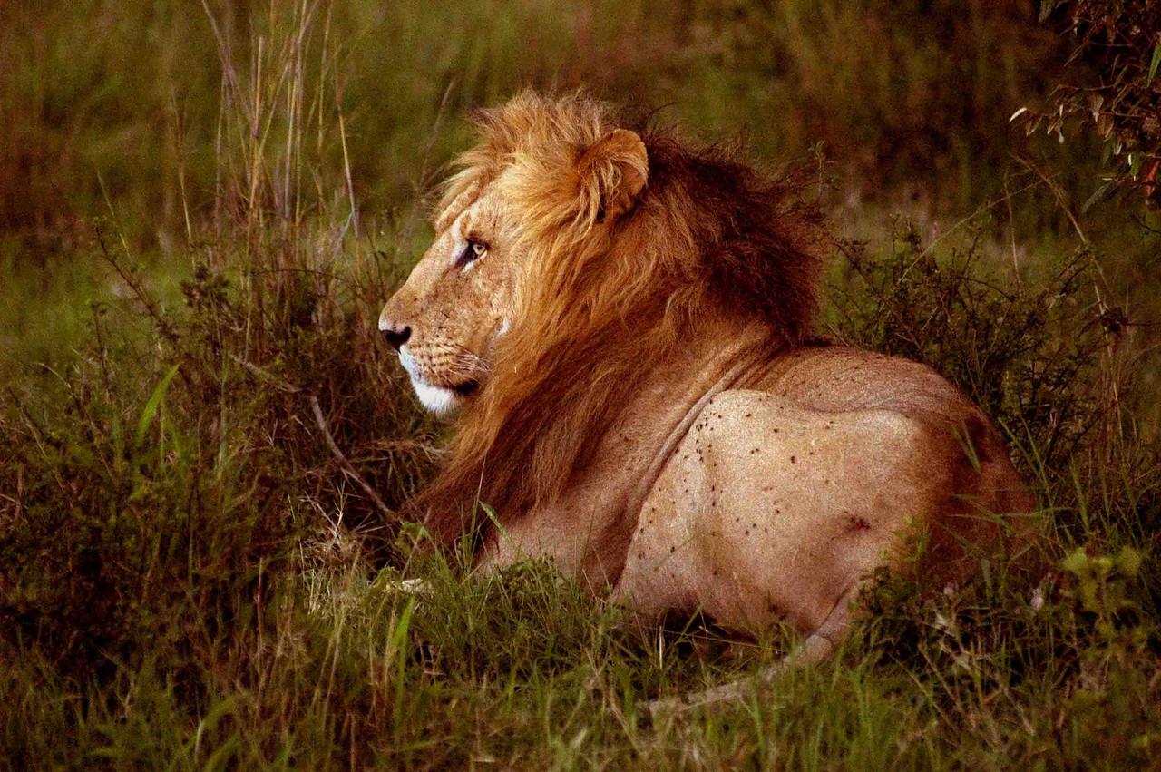 Bila Shaka pride 'boss', Maasai Mara