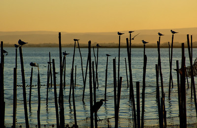 La Albufera is a breeding ground and sanctuary for many thousands of migrating and indigenous birds. Here Black-headed Gulls (Larus ridibundus), Sandwich Terns  (Sterna sandvicensis) and a Grey Heron (Ardea cinerea) sit out a typical Albufera sunset.
