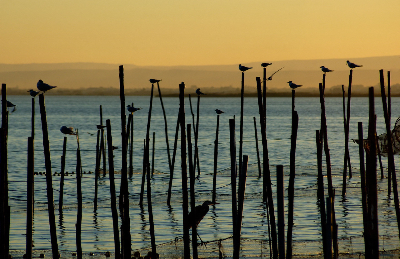 La Albufera is a breeding ground and sanctuary for many thousands of migrating and indigenous birds.Here Black-headed Gulls (Larus ridibundus), Sandwich Terns (Sterna sandvicensis) and a Grey Heron (Ardea cinerea) sit out a typical Albufera sunset.