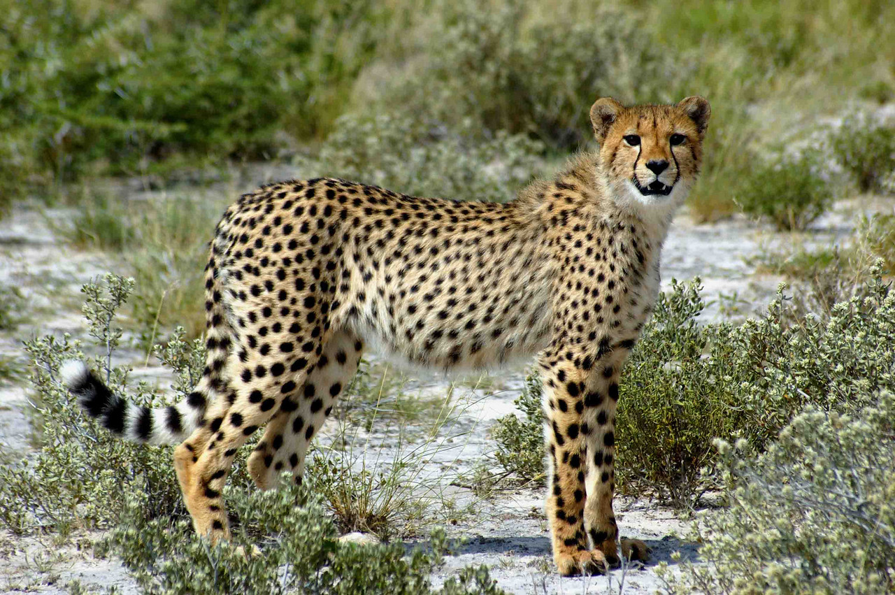 A cheetah on the prowl near Sunday Pan, Central Kalahari