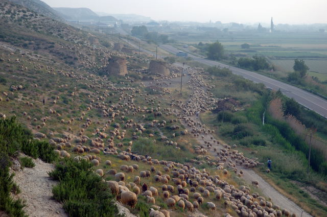 SPANISH SHEPHERDSThe sheep spread out at dawn to graze as they enter the first foothills of the Aragonese highlands