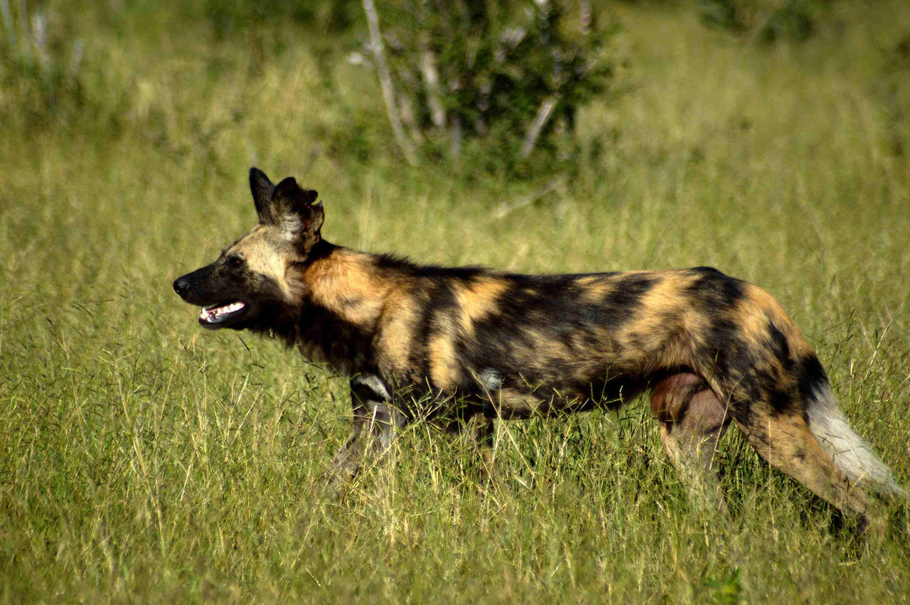 Wild dogs - Fifty years ago Ernest Hemingway was still writing that 'packs of these vermin' were still so numerous that he would hunt them with spears to save the cost of a bullet.