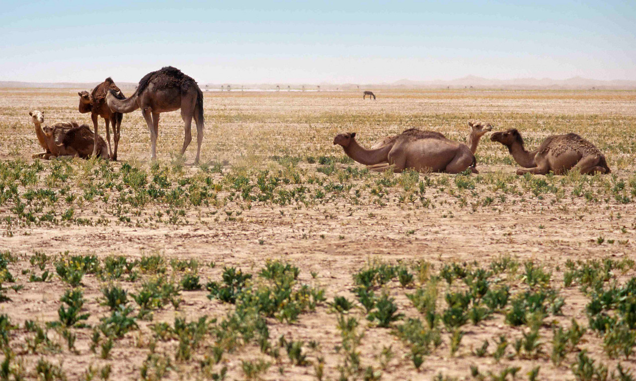 Camels enjoy a rare crop of fresh grazing after an unexpected shower at Chegaga dunes, on the edge fo the Sahara