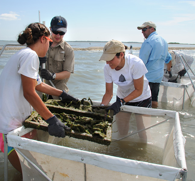 Professor Lee Smee's marine biology class gathers oysters at Goose Island.