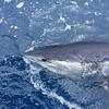 mako-shark_18970353269_o
