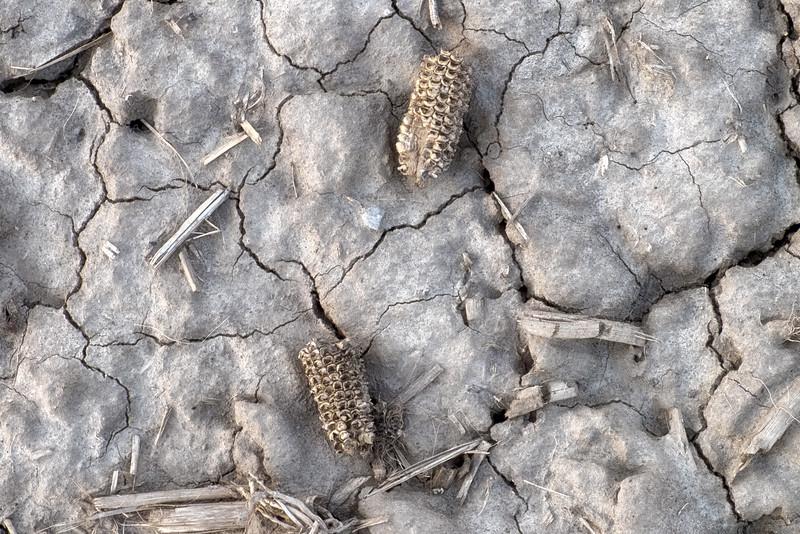 feed corn in field