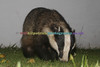 BADGERS_010
