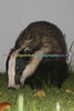 BADGERS_012