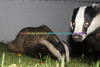 BADGERS_007