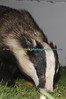 BADGERS_017