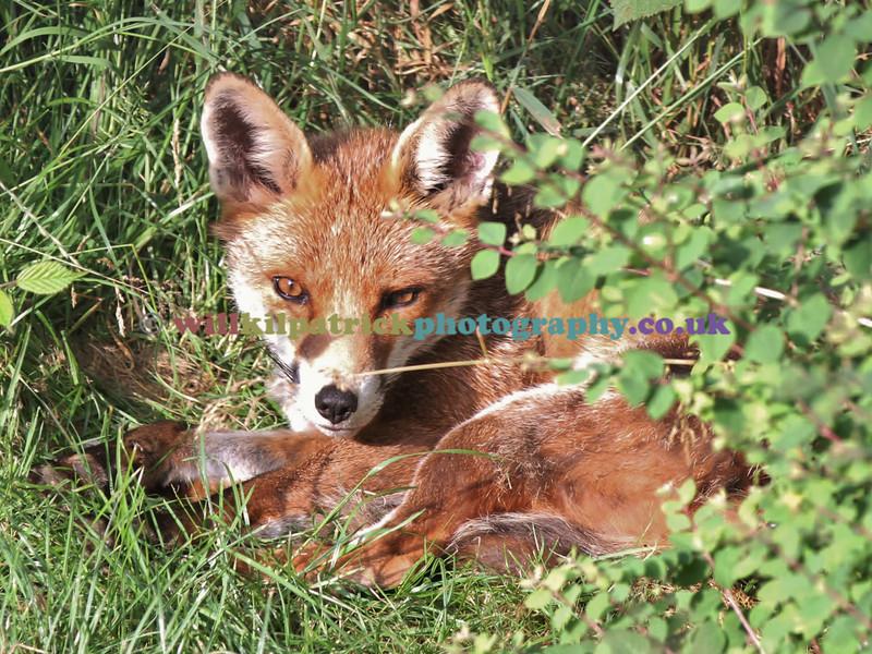 FOX_001