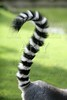 Ring tailed lemur from Madagascar. Question mark shape tail
