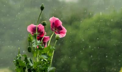 Opium poppies through a wet window_2