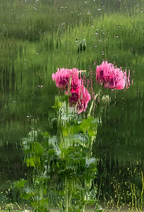 Opium poppies through a wet window